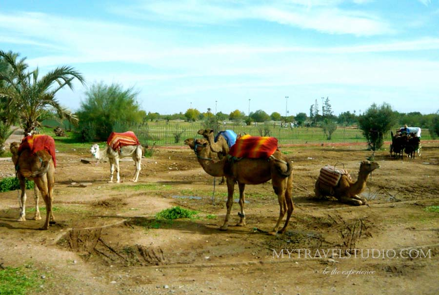 marocco camels