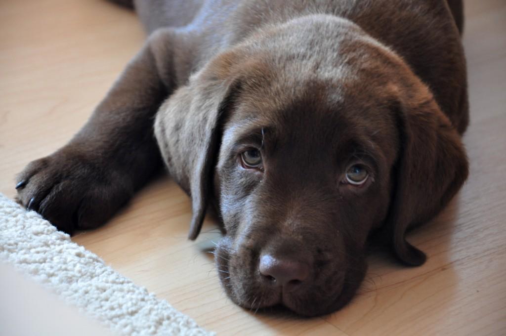 Argo, Chocolate labrador retriever